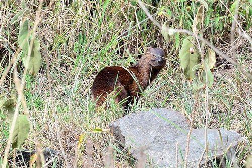Slender Mongoose - Herpestes sanguineus - Lake Nakuru NP Kenya D800 114 11-6-14CE.jpg