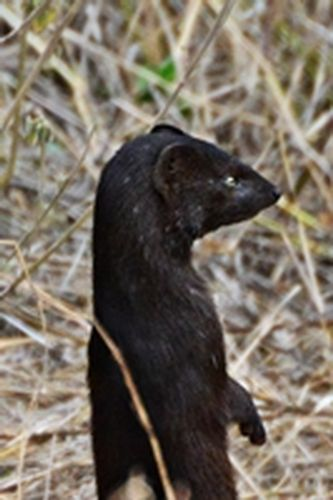 Slender mongoose - Herpestes sanguineus - Ngorongoro NP Tanzania D800 101 11-19-14CE2.jpg