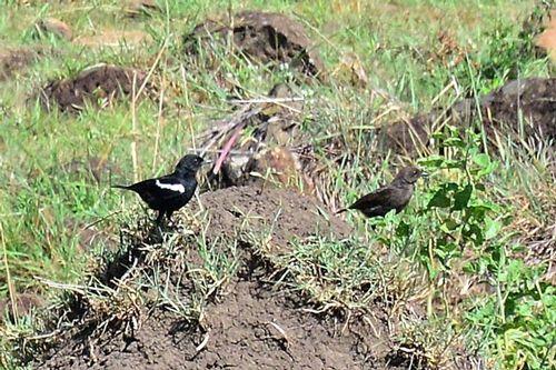 Sooty Chat - Myrmecocichia nigra - Masai Mara NP Kenya D800 150 11-9-14CE.jpg
