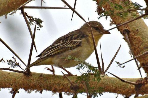 Spekes Weaver - Ploceus speki - Ngorongoro NP Tanzania D2X 044 11-19-14CE.jpg