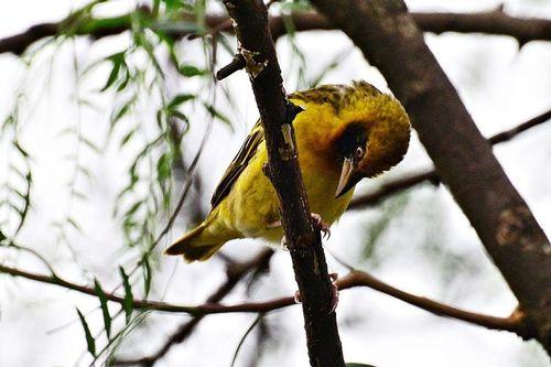 Spekes weaver - Ploceus spekei - Lake Nakuru National Park D800 002 11-6-14CE.jpg