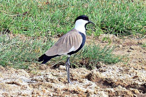 Spur-winged Lapwing - Vanellus spinosus - Lake Nakuru NP Kenya D800 207 11-6-14CE.jpg