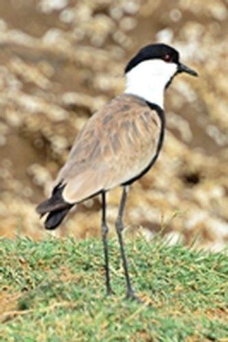 Spur-winged Lapwing - Vanellus spinosus - Lake Nakuru NP Kenya D800 223 11-6-14CE.jpg