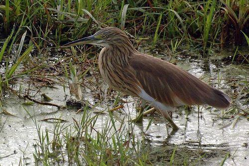 Squacco Heron - Ardeola ralloides - Amboseli NP Kenya D2X  054 11-12-14CE.jpg