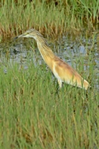 Squacco Heron - Ardeola ralloides - Amboseli NP Kenya D800 143 11-12-14CE.jpg