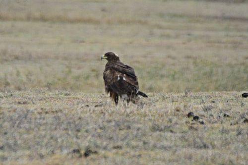 Steppe Eagle - Aquila nipalensis - Ngorongoro NP Tanzania D800 216 11-19-14CE.jpg