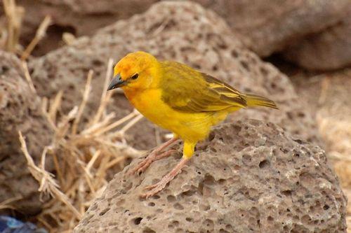 Taveta Golden Weaver - Ploceus castaneiceps - Amboseli NP Kenya D2X  051 11-11-14CE.jpg