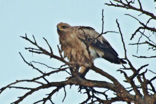 Tawny Eagle - Aquila rapax - Lake Nakuru NP Kenya D2X 001 11-6-14E.jpg