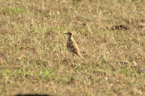 Temmincks courser - Cursorius temminckii - Masai Mara NP Kenya D2X 058 11-8-14CE.jpg