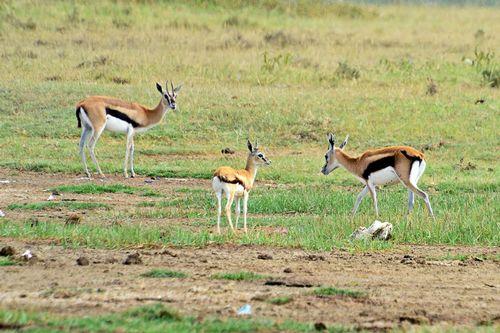Thomsons Gazelle - Eudorcas thomsonii - Lake Nakuru NP Kenya D800 231 11-6-14CE.jpg