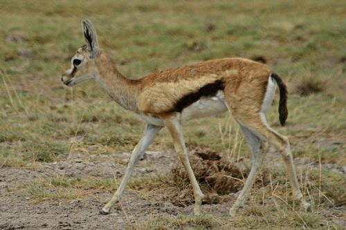 Thomsons gazelle - Eudorcas thomsonii - Amboseli  183 11-11-14CE.jpg