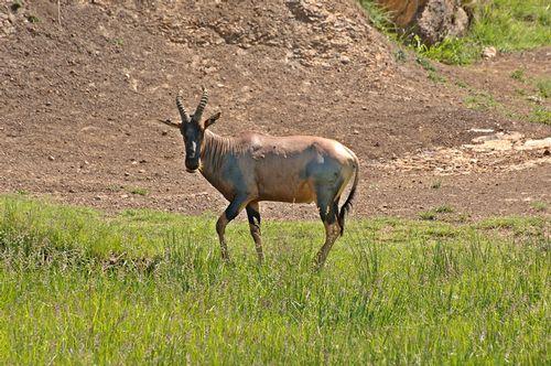 Topi - Damaliscus korrigum - Masai Mara NP Kenya D2X 091 11-8-14E.jpg