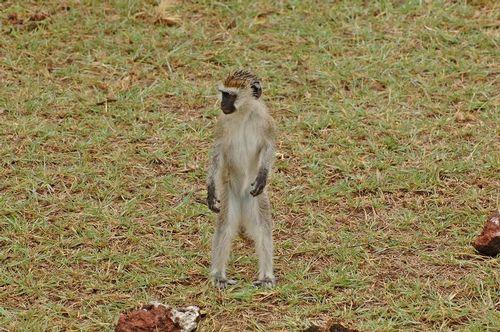 Vervet Monkey - Chlorocebus pygerythrus - Lake Manyara NP D2X  035 11-14-14E.jpg