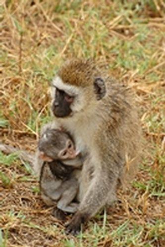 Vervet Monkey - Chlorocebus pygerythrus - Lake Manyara NP D2X 026 11-14-14CE.jpg