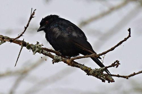 Wallers Starling - Onychognathus walleri - Lake Nakuru NP Kenya D800 087 11-6-14CE.jpg