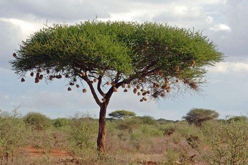 Weaver Nests - Tsavo NP Kenya D2X 112 11-12-14E.jpg