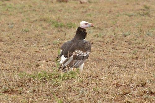 White-headed Vulture - Trigonoceps occipitalis - Serengeti NP D2X 051 11-15-14CE.jpg