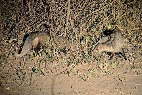 White-tailed mongoose - Ichneumia albicauda - Tsavo West NP D800 429 11-12-14CE.jpg