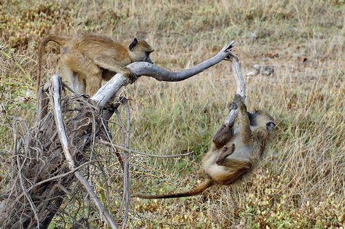 Yellow Baboon - Papio cynocephalus - Amboseli NP Kenya D2X  045 11-12-14CE.jpg