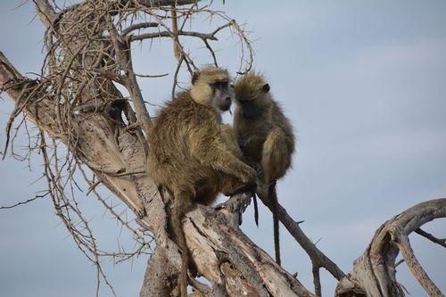 Yellow Baboon - Papio cynocephalus - Amboseli NP Kenya D5200  077 11-12-14.jpg