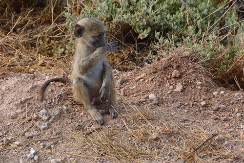 Yellow Baboon - Papio cynocephalus - Amboseli NP Kenya D5200 083 11-12-14.jpg