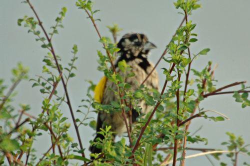 Yellow Bishop - Euplectes capensis - Masai Mara NP Kenya D2X 002 11-9-14E.jpg