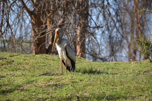 Yellow-billed Stork - Mycteria ibis - Lake Navashia NP Kenya D5200 222 11-7-14.jpg