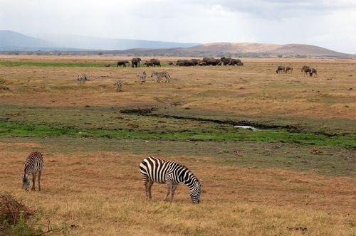 Zebra Elephants and Wildebeast - Amboseli NP D2X  014 11-11-14E.jpg