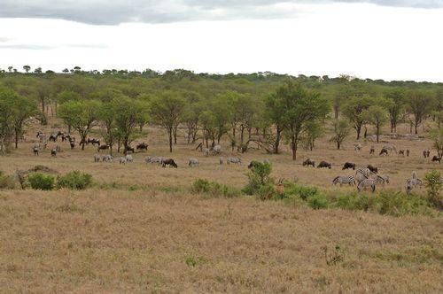 Zebra Wildebeest and Eland - Serengeti NP Tanzania D2X 004 11-15-14E.jpg