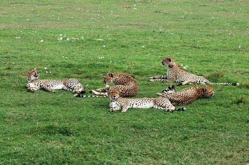 African Cheetah - Acinonyx jubatus - Masai Mara NP Kenya - D2X 2017-11-03-047CE.jpg