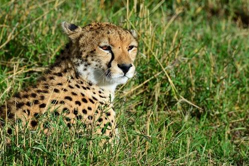 African Cheetah - Acinonyx jubatus - Masai Mara NP Kenya - D800 2017-11-02-160CE.jpg