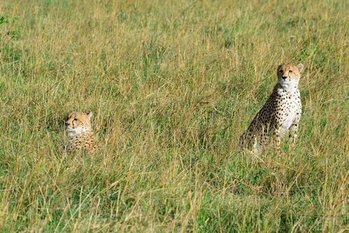 African Cheetah - Acinonyx jubatus - Masai Mara NP Kenya - D800 2017-11-02-177CE.jpg