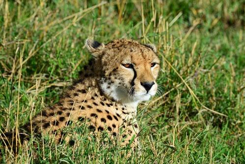 African Cheetah - Acinonyx jubatus - Masai Mara NP Kenya - D800 2017-11-02-185CE.jpg