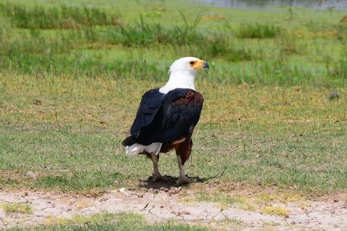African Fish Eagle - Haliaeetus vocifer - Amboseli NP Kenya D800 2017-11-17-676CE.jpg