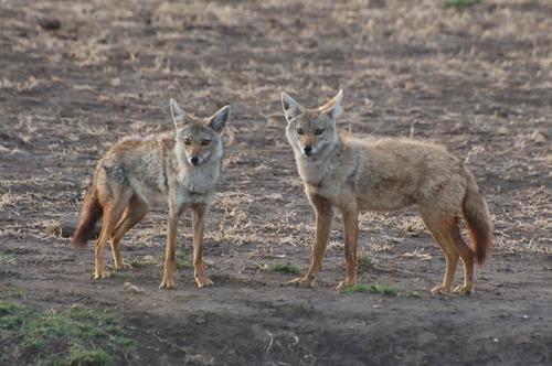 African Golden Wolf - Canis aureus - Ngorongoro NP Tanzania - D2X 2017-11-10-025CE.jpg