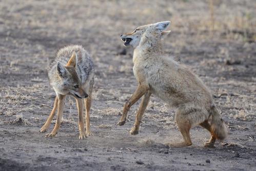 African Golden Wolf - Canis aureus - Ngorongoro NP Tanzania - D800 2017-11-10-047CE.jpg