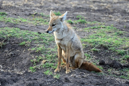 African Golden Wolf - Canis aureus - Ngorongoro NP Tanzania - D800 2017-11-10-055CE.jpg