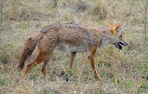 African Golden Wolf - Canis aureus - Ngorongoro NP Tanzania - D800 2017-11-10-380CE.jpg