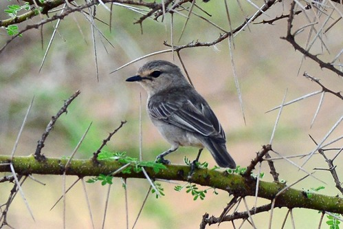 African Gray Flycatcher -Bradornis microrhynchus - Lake Manyara - D800 2017-11-13-262CE.jpg