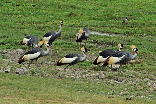 African Grey Crowned Crane - Balearica regulorum - Amboseli NP Kenya D800  162 11-11-14CE.jpg