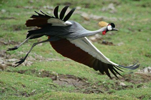 African Grey Crowned Crane - Balearica regulorum - Amboseli NP Kenya D800  169 11-11-14CE.jpg