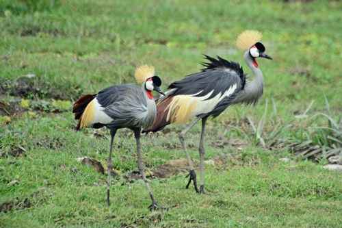 African Grey Crowned Crane - Balearica regulorum - Amboseli NP Kenya D800  172 11-11-14CE.jpg