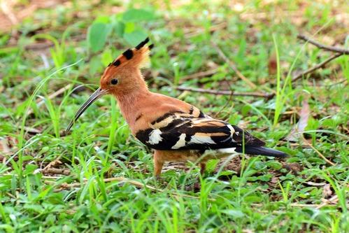 African Hoopoe - Upupa Africana - Samburu NP - Kenya - D800 2017-10-24-110CE.jpg