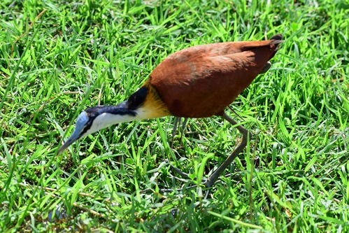 African Jacana - Actophilornis africanus - Lake Manyara NP Tanzania - D800 2017-11-12-191CE.jpg