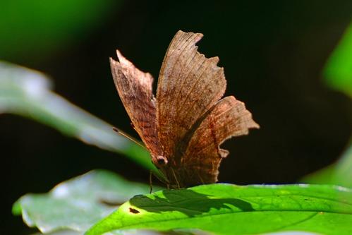 African Leaf Butterfly - Kallimoides rumia - Kakamega NP Kenya - D800 2017-10-31-173CE.jpg