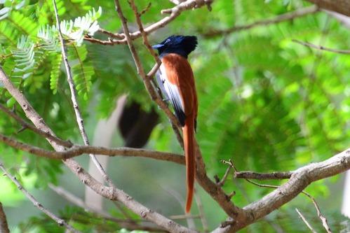 African Paradise-Flycatcher -Terpsiphone viridis - Spekes Bay Kenya - D800 2017-11-05-251CE.jpg