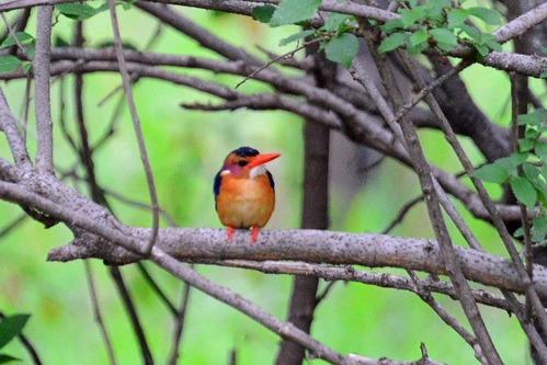 African Pygmy-Kingfisher - Ispidina picta - Spekes Bay Kenya - D800 2017-11-05-394CE.jpg