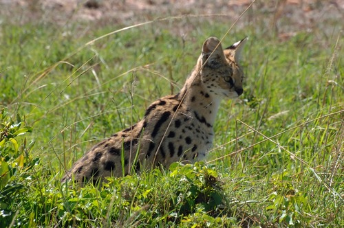 African Serval - Leptailurus serval - Masai Mara NP Kenya - D2X 2017-11-03-028CE.jpg