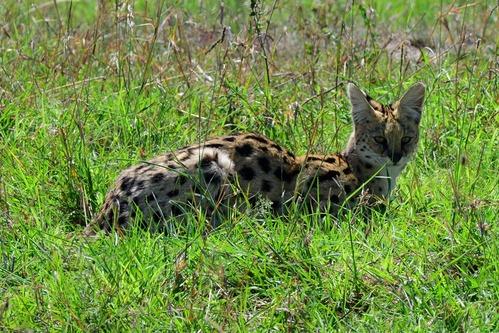African Serval - Leptailurus serval - Masai Mara NP Kenya - D800 2017-11-03-108CE.jpg