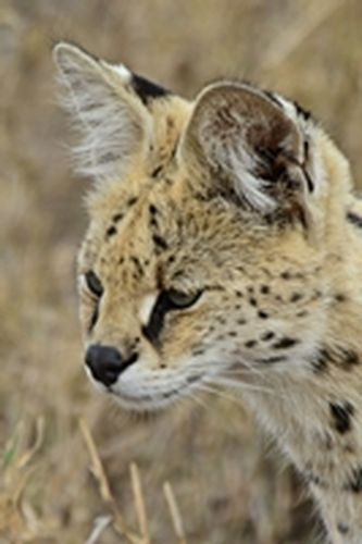 African Serval - Leptailurus serval - Serengeti NP Tanzania  D800 248 11-16-14CE.jpg